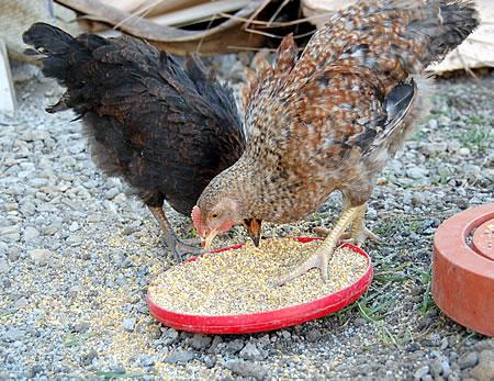 Haitichickens2